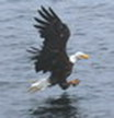bald eagle landing north vancouver island