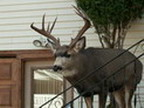 Whitetail- 6 X 7 - this is why the US way of saying ' 13 pointer '  is useless way to tell......