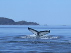 mink whale galetus channel port hardy bc vancouver island